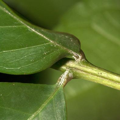 Bersama palustris Leaflet bases and leaf rachis.