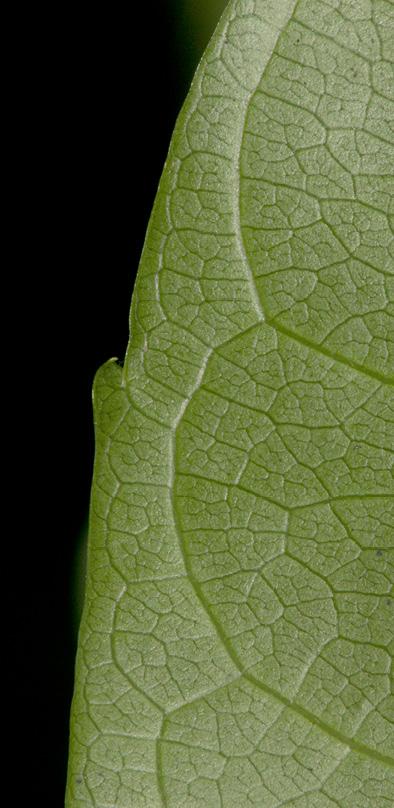 Bersama palustris Leaflet margin and venation, lower surface.