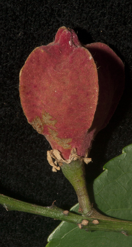 Bersama palustris Ripe fruit.