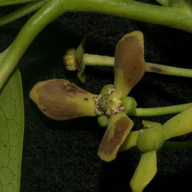 Cleistopholis patens Flower.