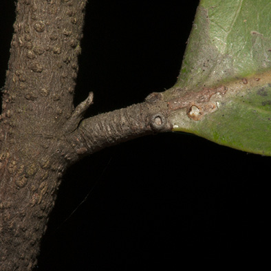 Maranthes glabra Leaf base, glands, petiole and stipule.