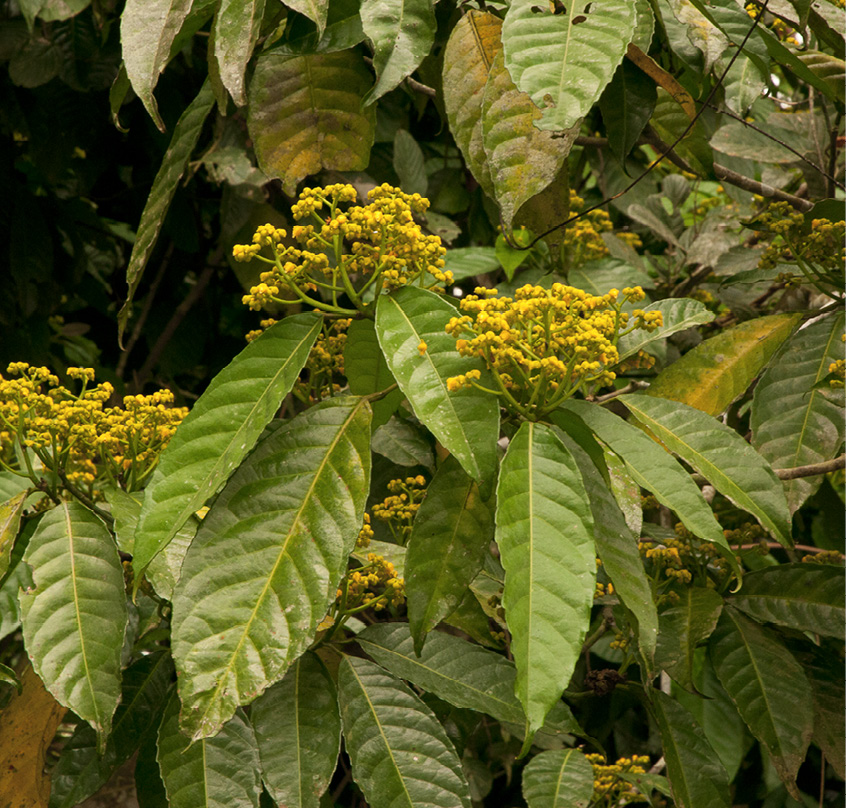 Rinorea oblongifolia Flowering branches.