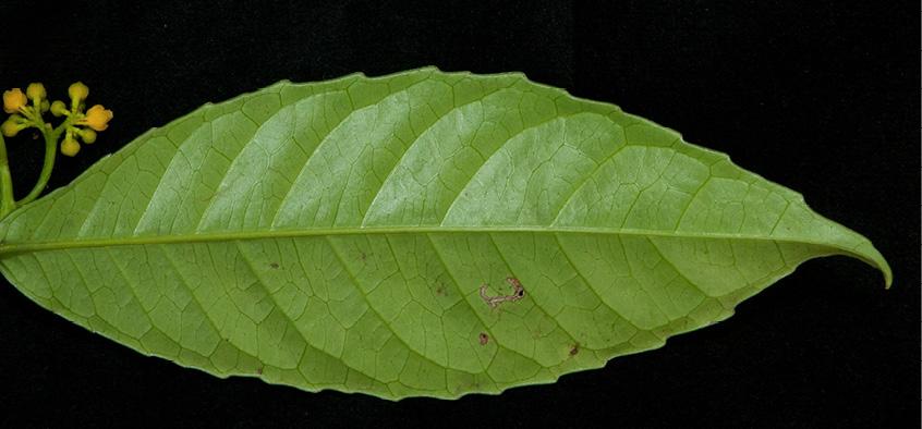 Rinorea oblongifolia Leaf, lower surface.