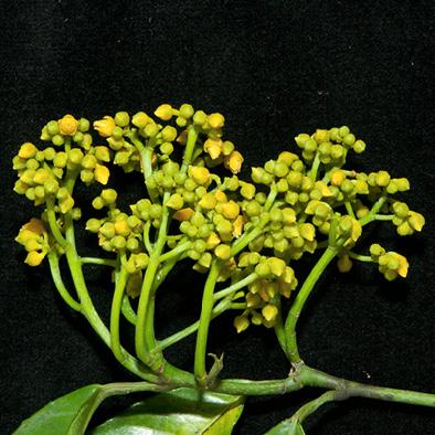 Rinorea oblongifolia Inflorescence.