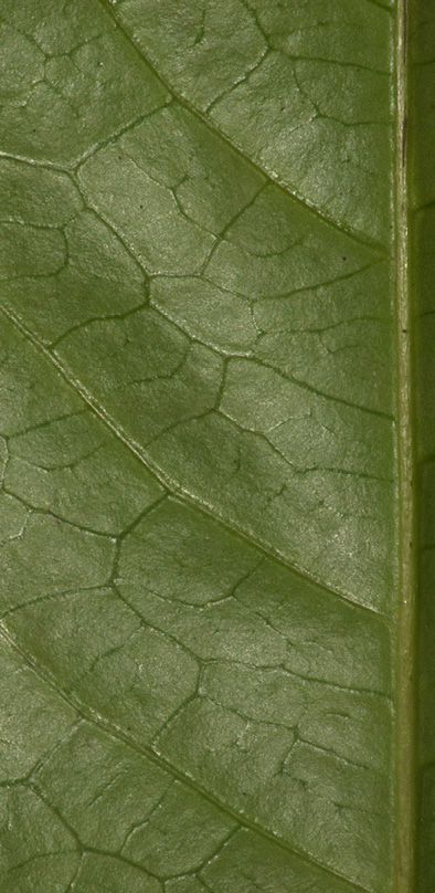 Rinorea oblongifolia Venation, lower leaf surface.
