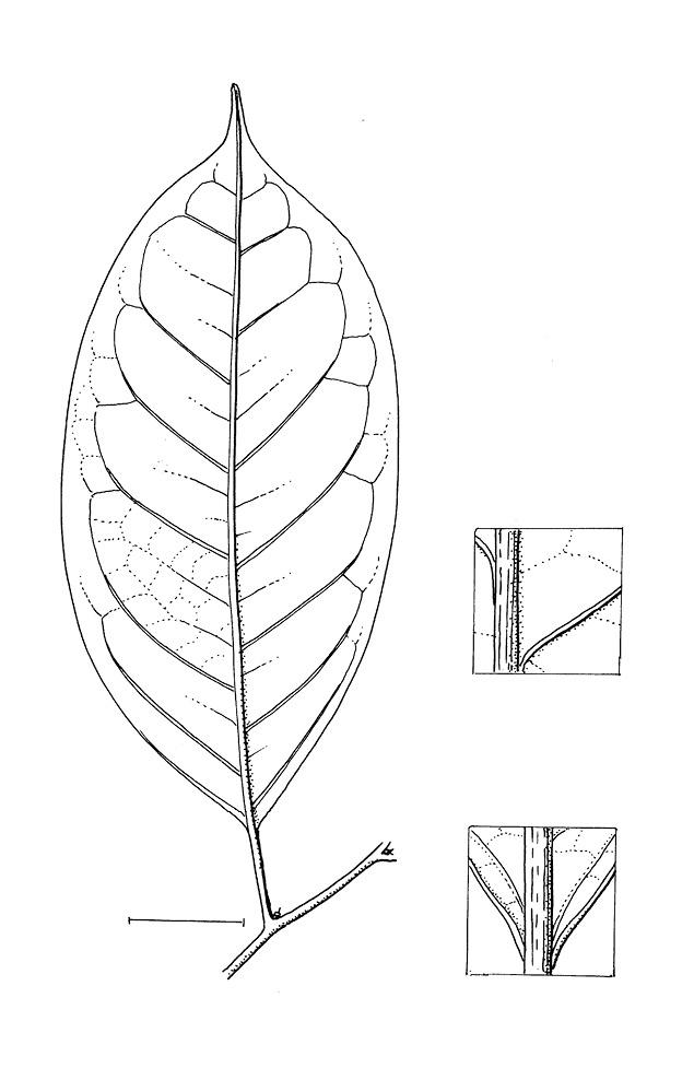 line image of Heisteria parvifolia