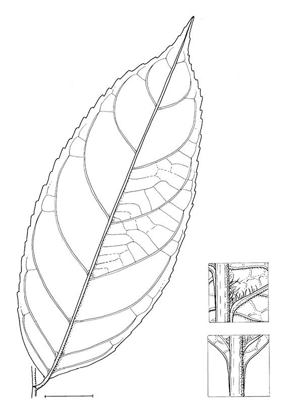 line image of Homalium longistylum