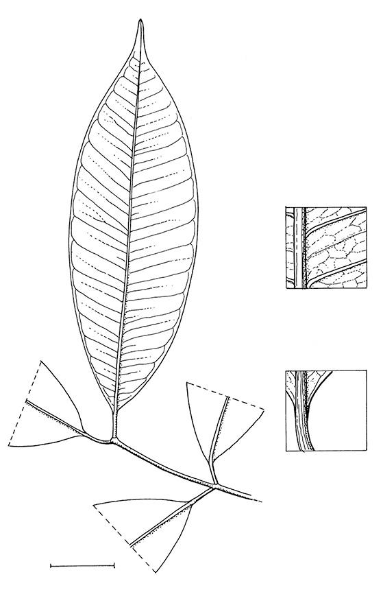line image of Hunteria ballayi
