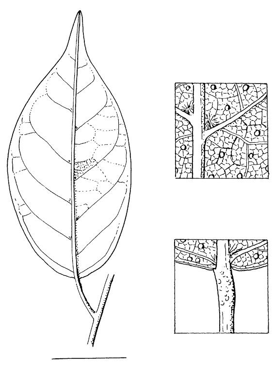 line image of Hymenocardia ripicola
