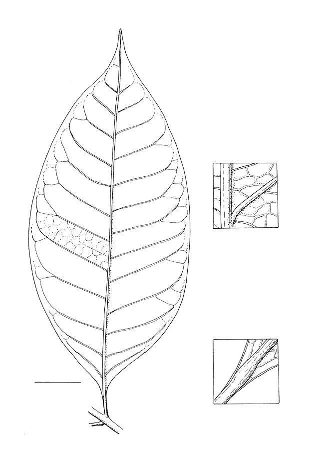 line image of Ixora guineensis
