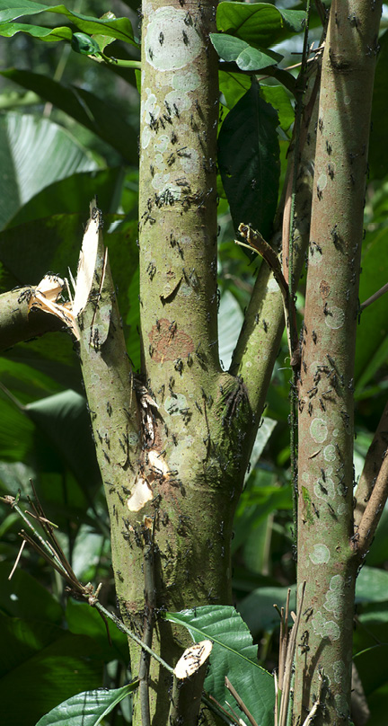 Barteria fistulosa Multiple trunks, covered in ants.