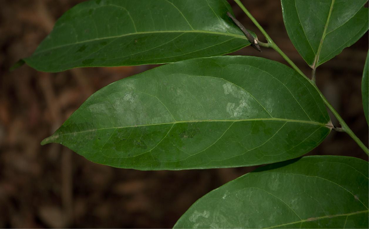 Diospyros iturensis leaf, upper surface.