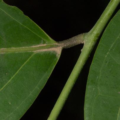Diospyros iturensis Leaf base, upper surface.