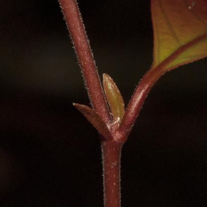 Homalium longistylum Stipules.