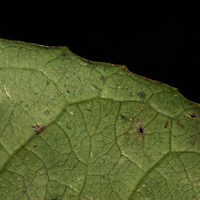 Homalium longistylum Leaf margin, lower surface.