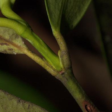 Garcinia ovalifolia Petioles.