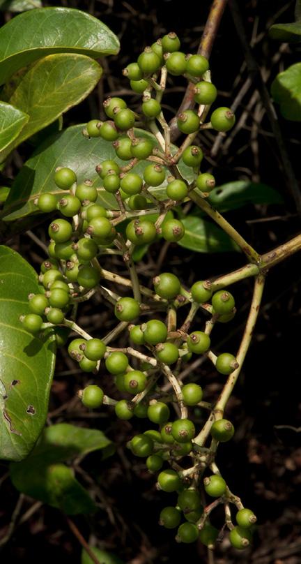Psychotria djumaensis Immature fruit.