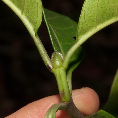 Psychotria djumaensis Stipule.