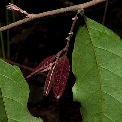 Homalium longistylum Young and mature leaves.