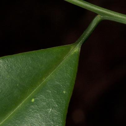 Aptandra zenkeri Leaf base, upper surface.