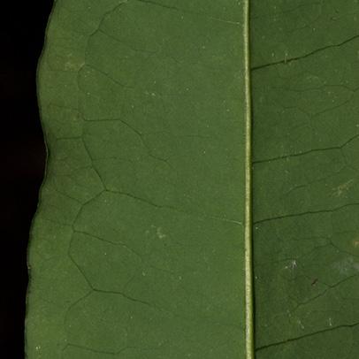 Aptandra zenkeri Midrib and venation, leaf lower surface.