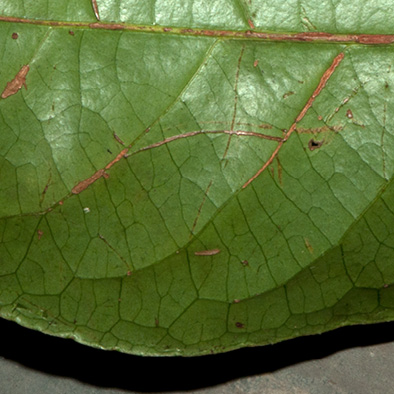 Barteria fistulosa Midrib and venation, leaf lower surface.