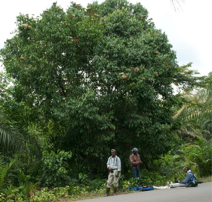 Maranthes glabra Tree.