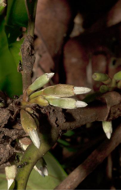 Aoranthe cladantha Flower buds.