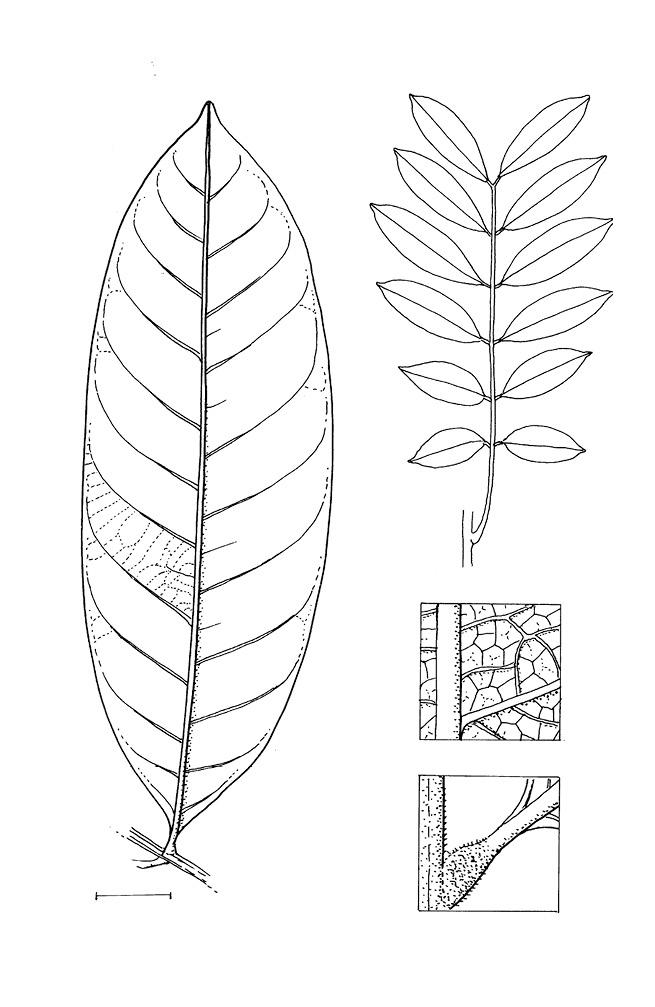 line image of Lecaniodiscus cupanioides