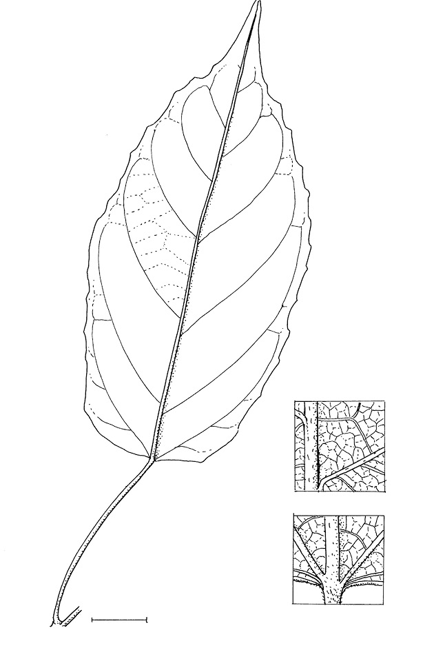 line image of Lindackeria dentata