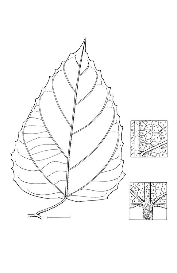 line image of Macaranga monandra
