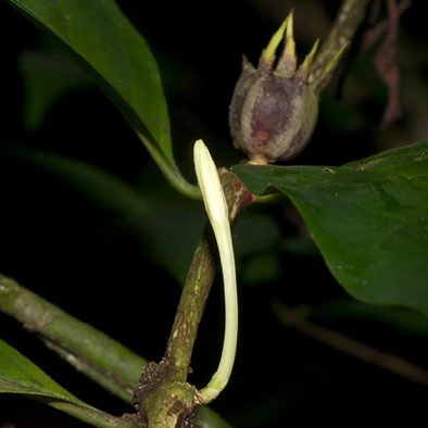 Psilanthus mannii Flower bud and young fruit.