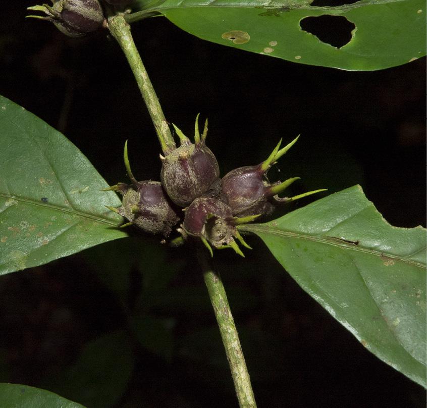 Psilanthus mannii Immature fruit.