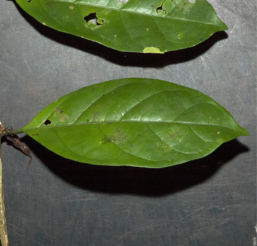 Psilanthus mannii Leaf, upper surface.