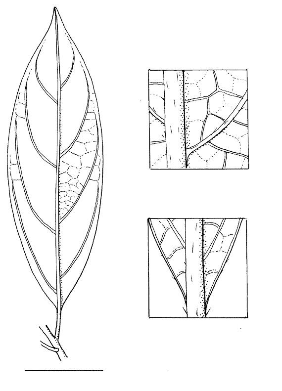 line image of Maesobotrya pynaertii