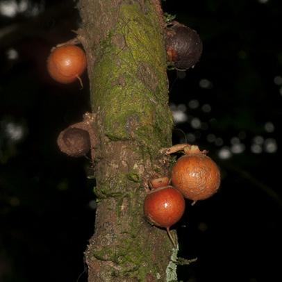Brazzeia congoensis Fruit.