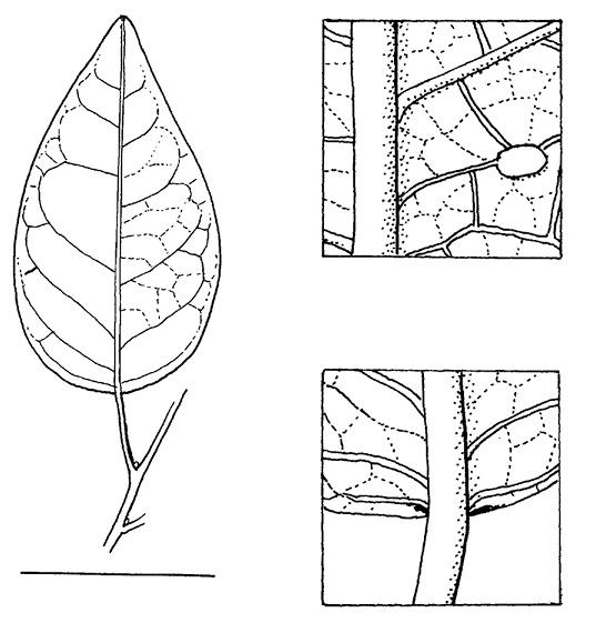 line image of Maprounea membranacea