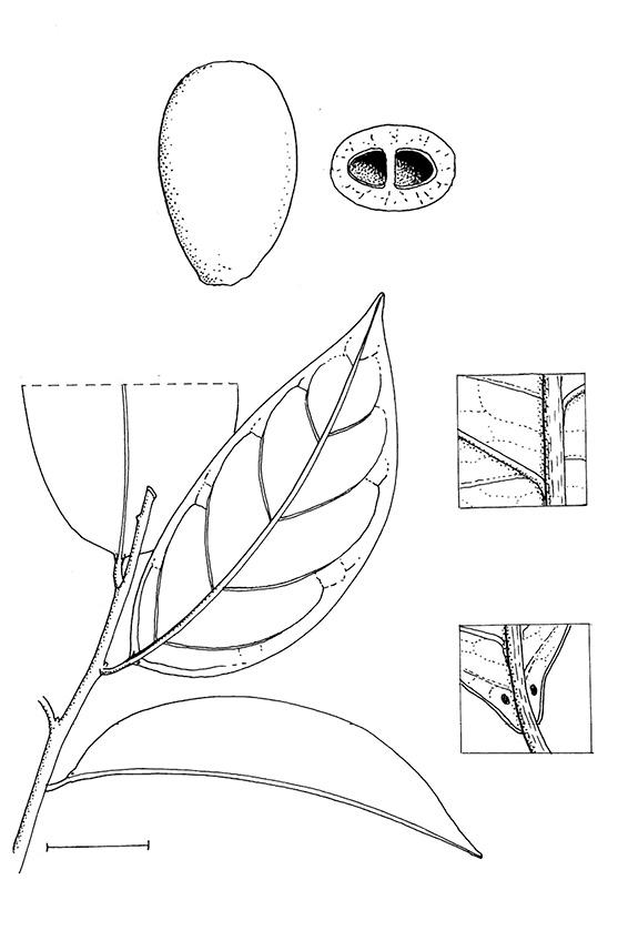 line image of Maranthes glabra