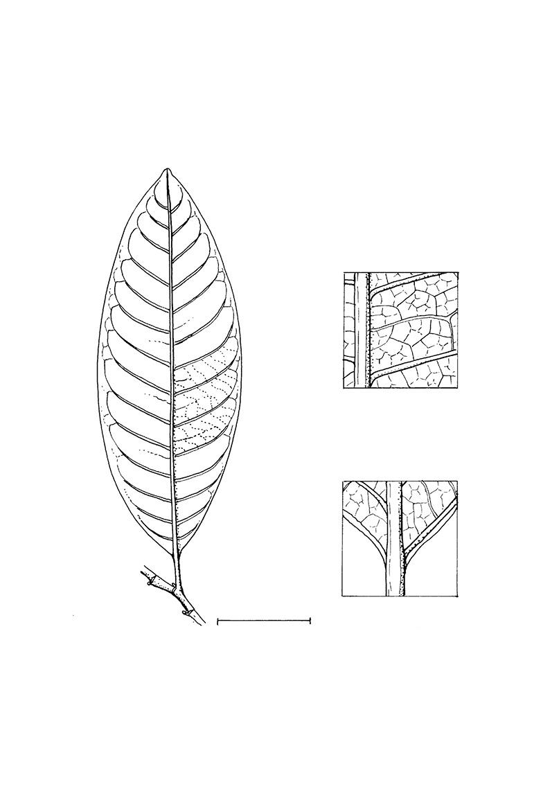 line image of Margaritaria discoidea