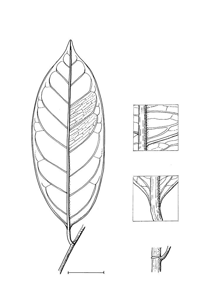 line image of Martretia quadricornis