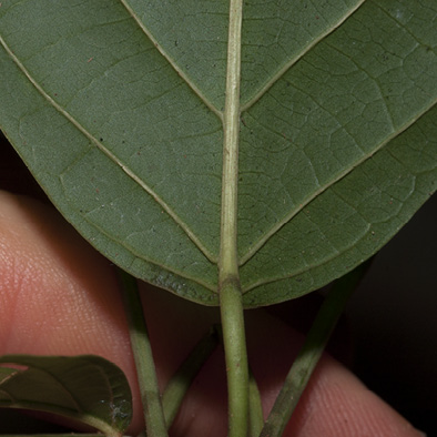 Caloncoba crepiniana Leaf base, lower surface.