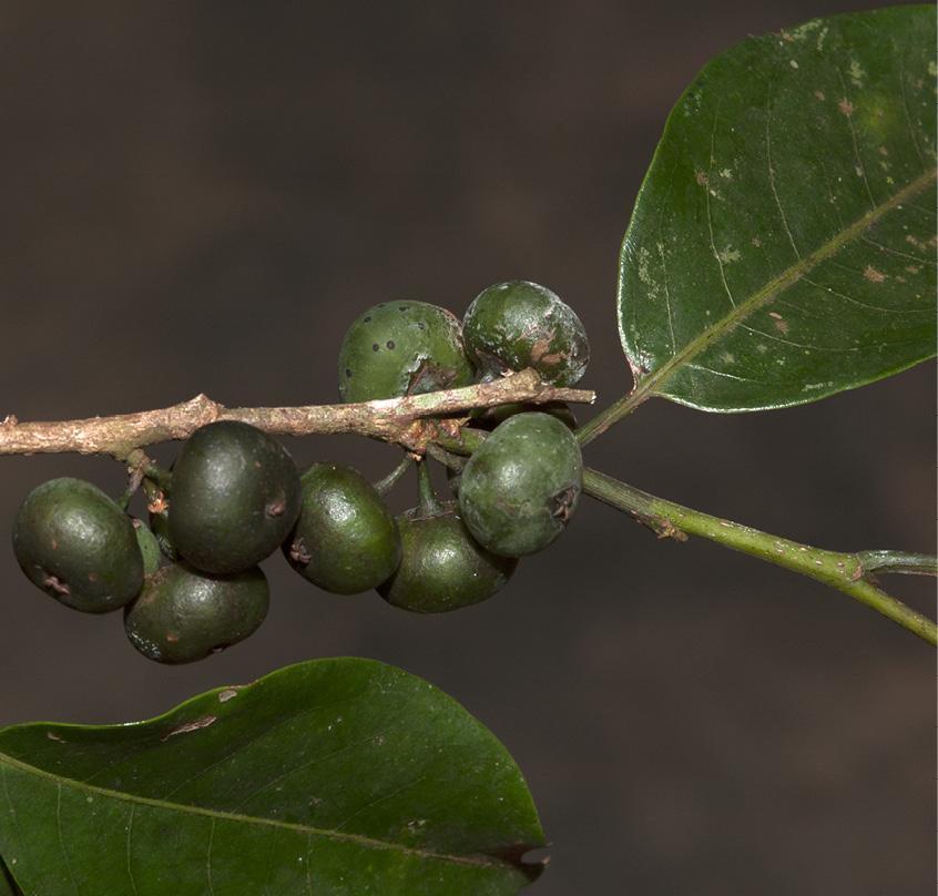 Margaritaria discoidea Immature fruit.