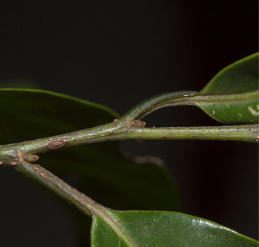 Margaritaria discoidea Petioles, leaf bases and stipular scars.