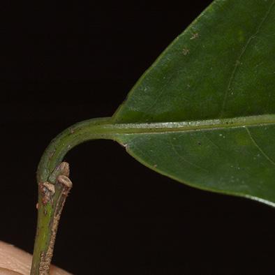Margaritaria discoidea Leaf base and petiole, upper surface.