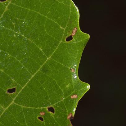 Macaranga monandra Teeth at the margin of mature leaf, upper surface.