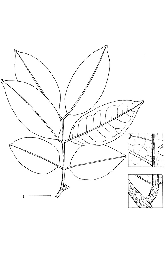 line image of Millettia griffoniana