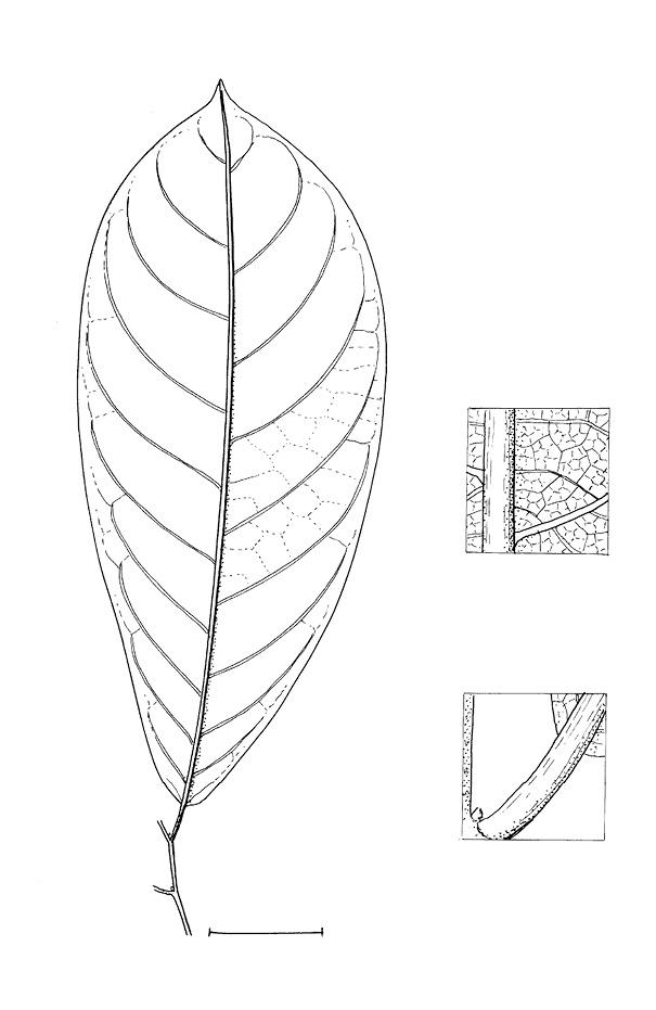 line image of Monodora angolensis