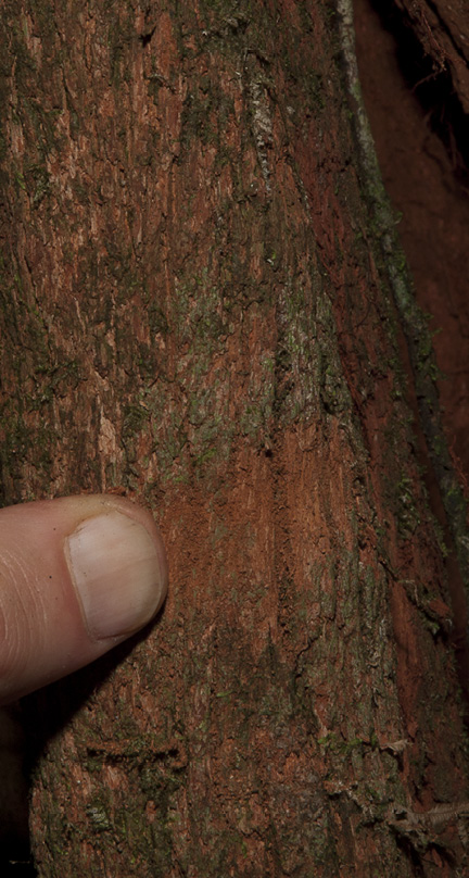 Rhabdophyllum arnoldianum Bark, partly rubbed away by finger.