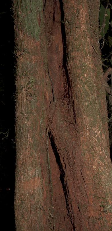 Rhabdophyllum arnoldianum Base of tree.