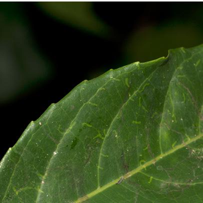 Homalium longistylum Leaf margin, upper surface.